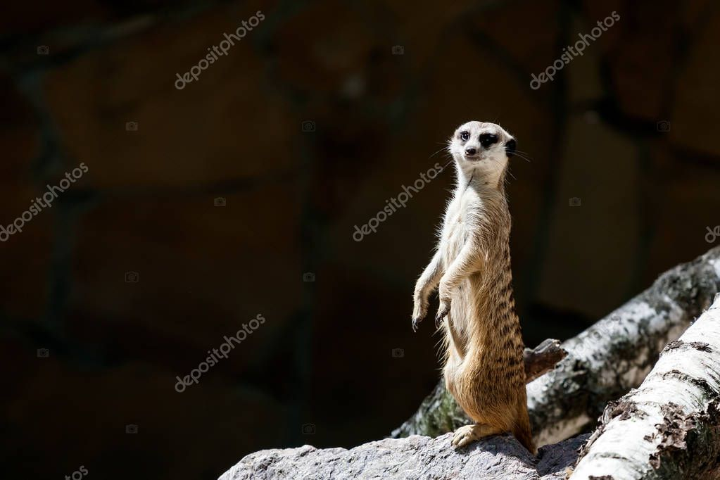 A close-up of the adult meerkat monitors its territory and birds, keeping calm for the rest of the surrikat on a warm summer day