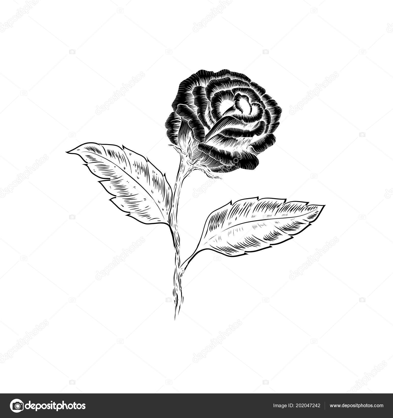 Schöne Schwarze Und Weiße Strauß Stieg Und Verlässt