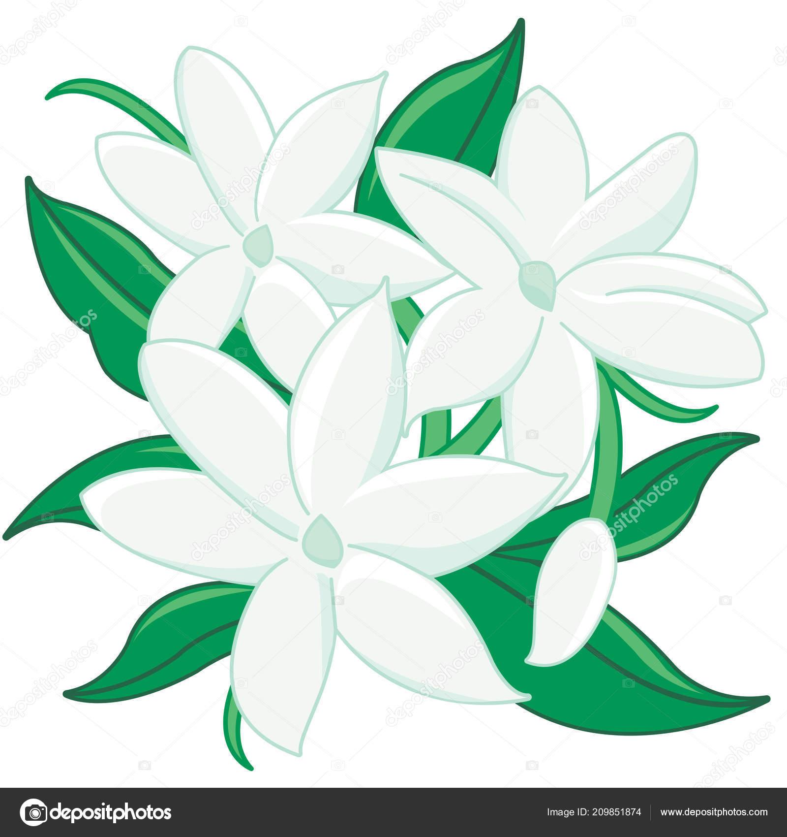 Vector Illustration Jasmine Flowers Leaves Stock Vector