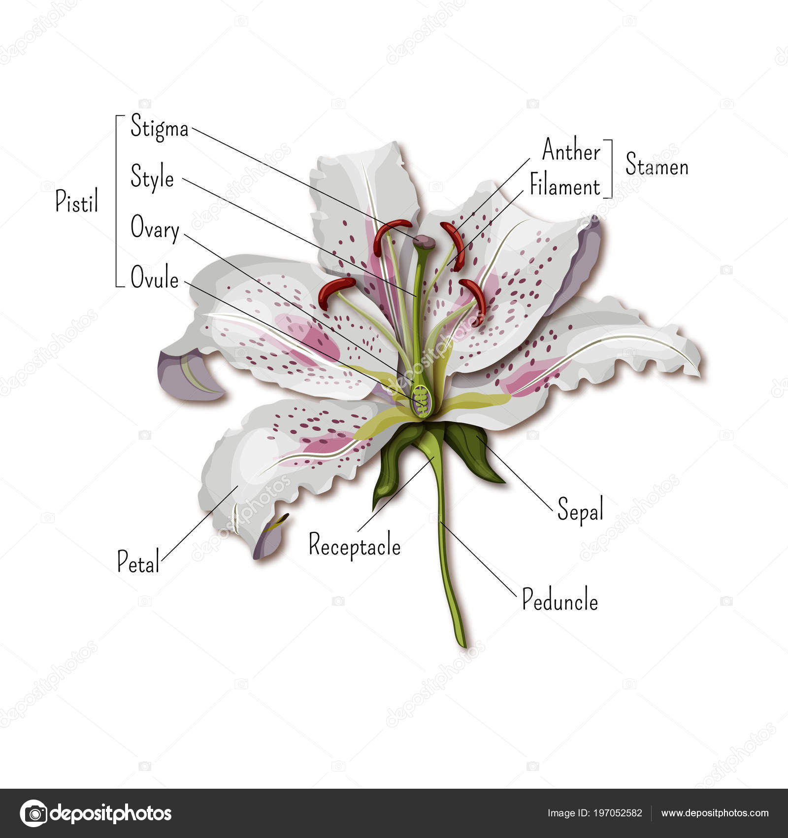 Parts of the flower infographics. Lily flower anatomy. Science for ...