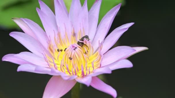 Chyby na růžové Lotosový květ. Růžový květ lotosu v rybníku s mnoha včel a bug to hemžení