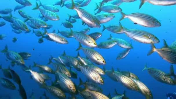 Příroda pod mořem - Středozemní zlaté stuhy