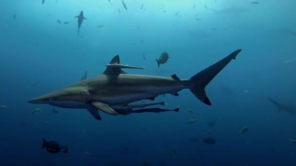 Vadvilág víz alatt Spinner cápa közel a kamerához