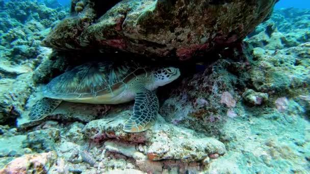 Víz alatti élet - tengeri teknős egy Maldív-szigeteki zátony