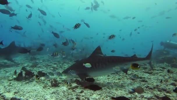 Divoká zvěř pod vodou - Žralok tygří krmení na maledivském útesu