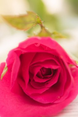 Beautiful pink rose on white wooden background,soft focus