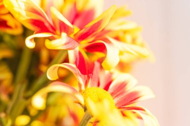 Beautiful red yellow fresh chrysanthemum flowers boquet on white wooden background,sofot focus
