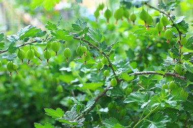 gooseberry bush in the garden, the fruits of berries grow on a branch, tear gooseberries and eat