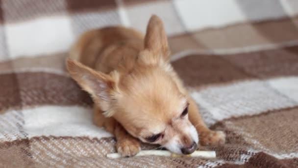 Vörös kutya Chihuahua rágja egy csont feküdt a kanapén