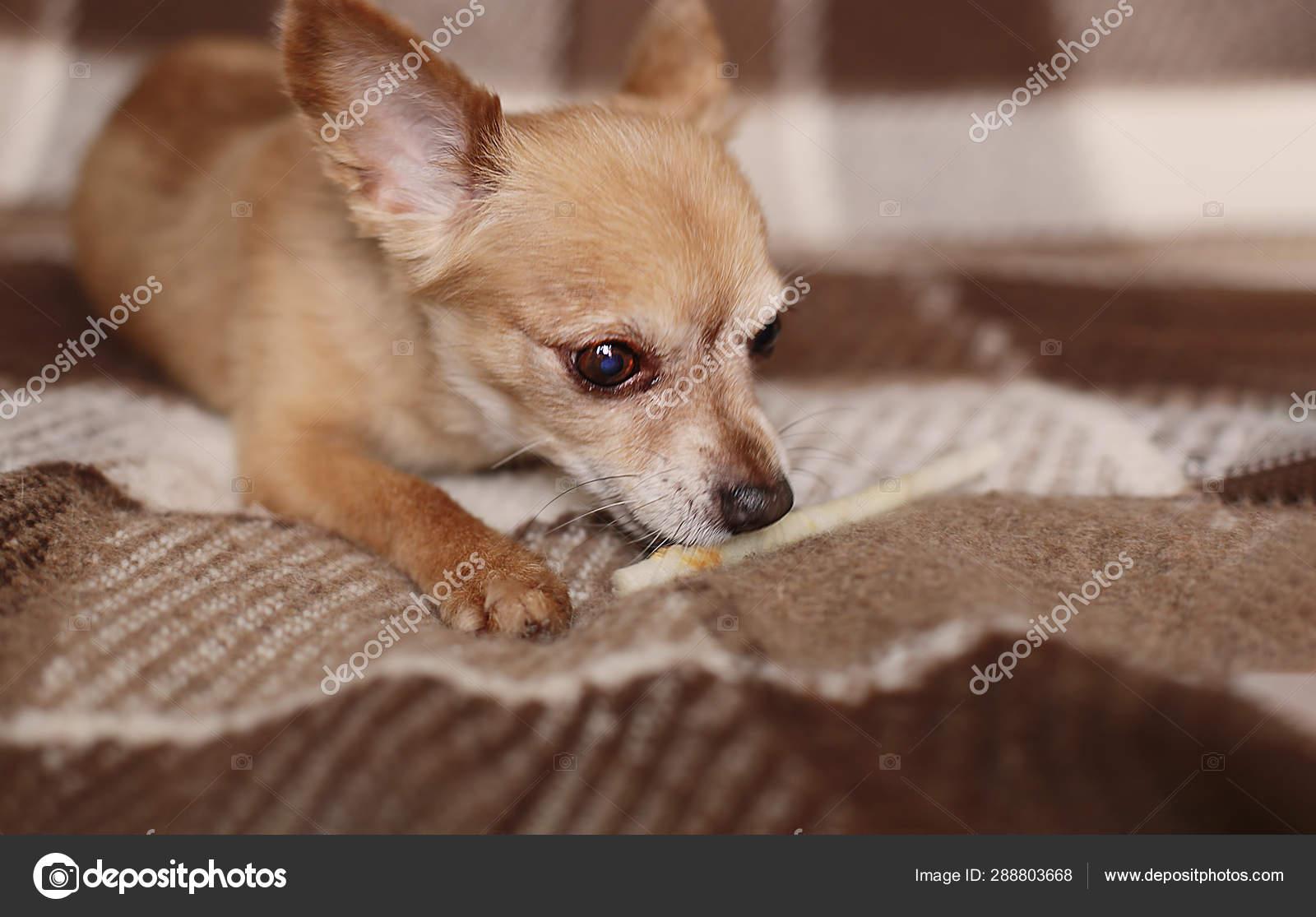 фото чихуахуа короткошерстных коричневого
