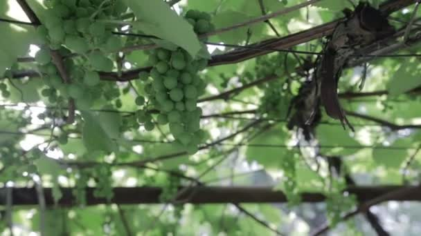 Green vineyard, close-up