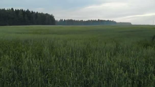 Letecký pohled na pole oseté pšenice, obilnin. V dálce uvidíte jehličnatý les v mlze