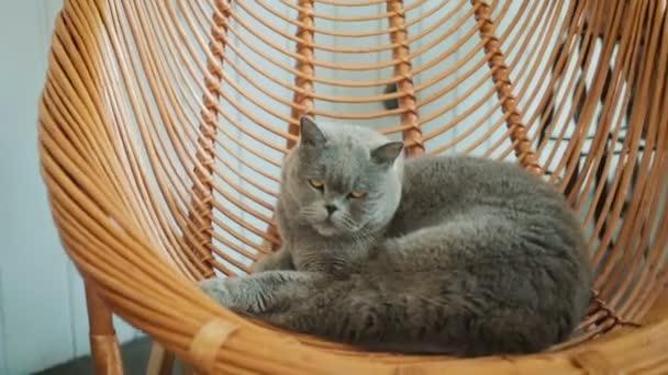 Gray, big, fluffy cat sleeping in a chair