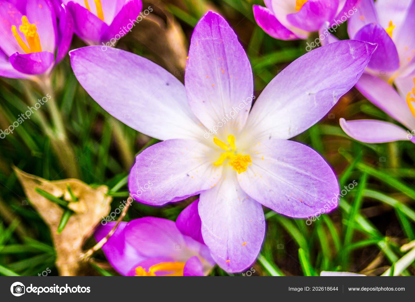 Crocus Plural Crocuses Croci Genus Flowering Plants Iris Family