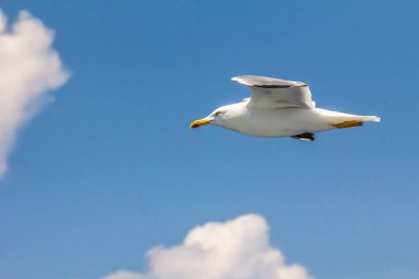European herring gull, seagull, Larus argentatus flying in the summer along the shores of Aegean sea near Athens, Greece