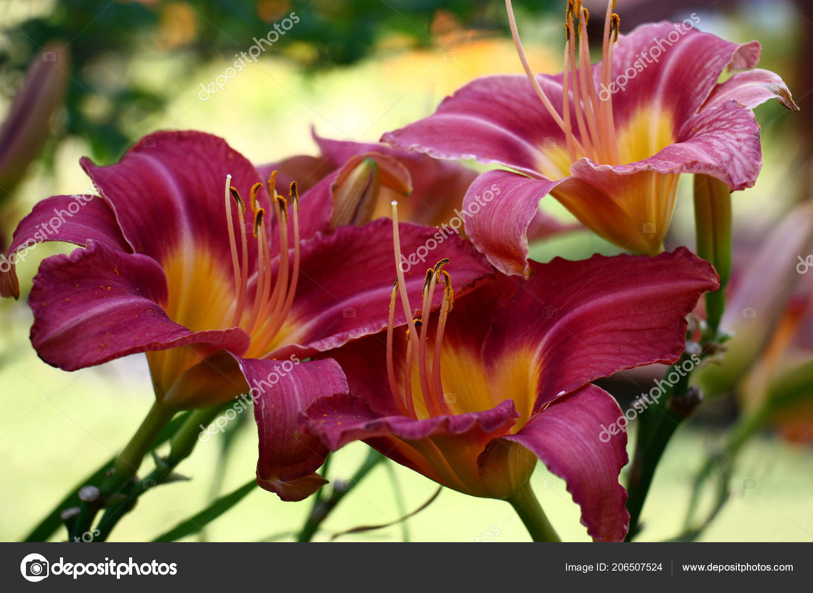 Magnificent Large Flowers Day Lily Having Been Row Created Very