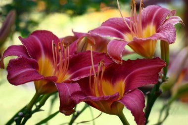 Magnificent large flowers of a day lily having been a row created very bright color spot.