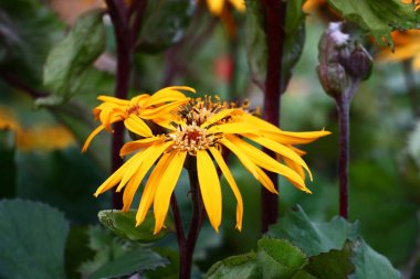 The ligularis dentata plentifully blossoms yellow bright flowers.