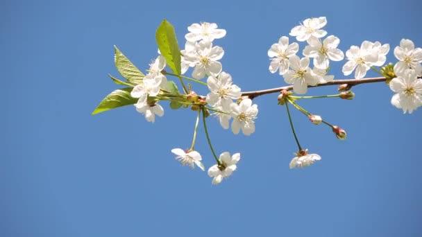 Třešňové větve s bílými květy, houpat ve větru na krásné pozadí