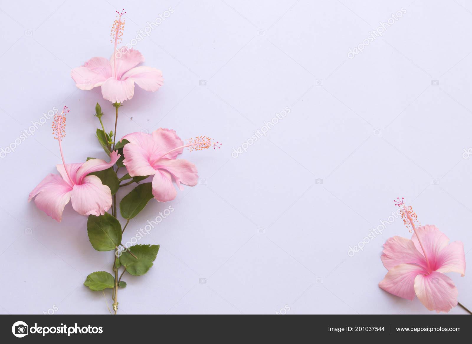 Pink Hibiscus Flower Asia Scissors Arrangement Background White