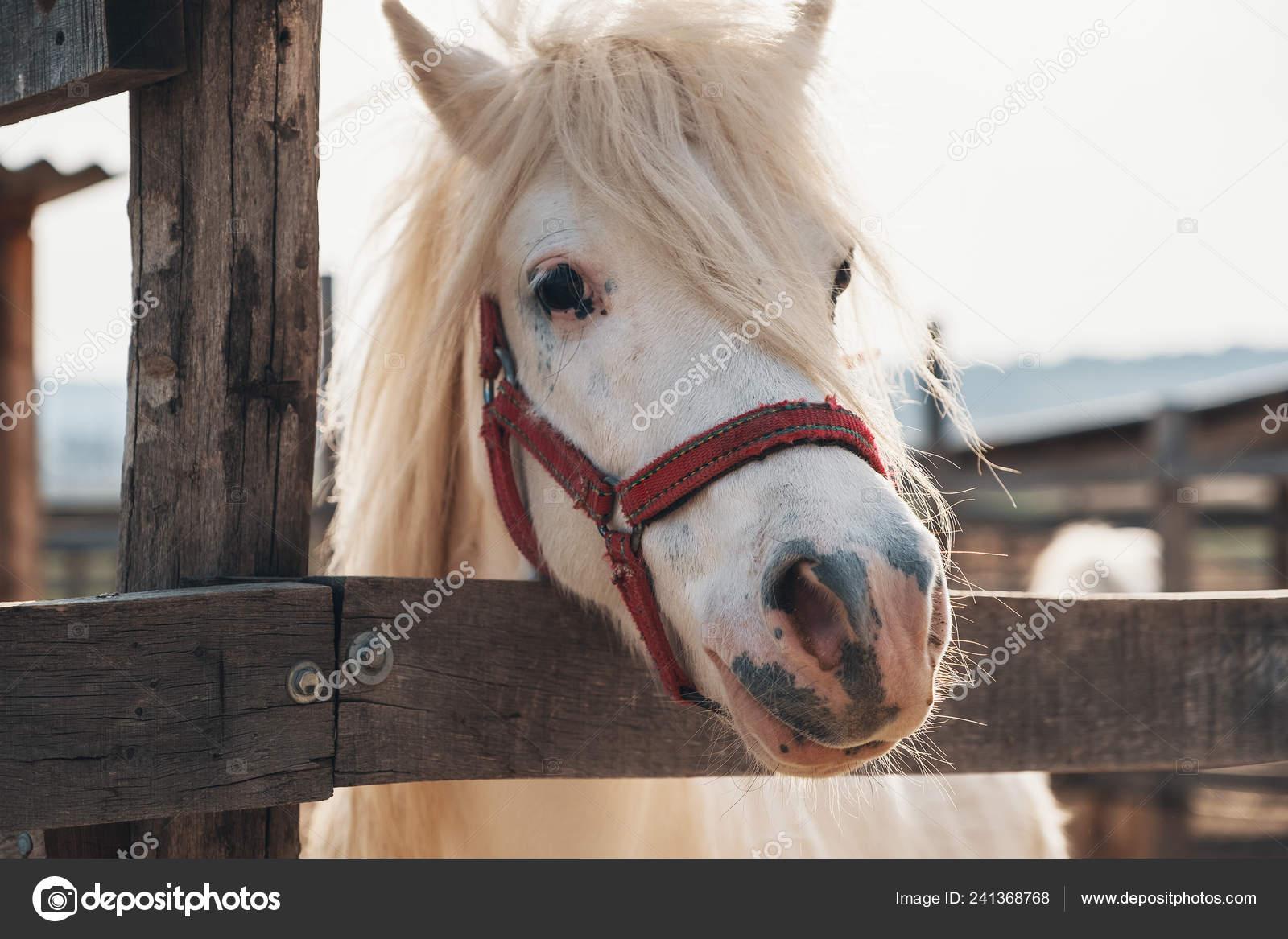 Pictures Cutest Horse Portrait Beautiful White Cute Horse Cutest White Horse Portrait Lovely Stock Photo C Diignat 241368768