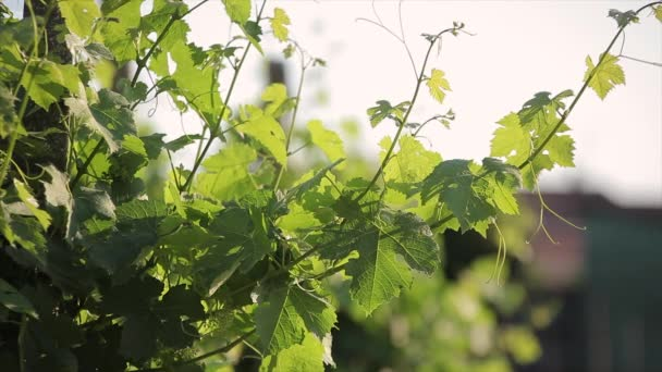 Vine leaves with little movement at sunset