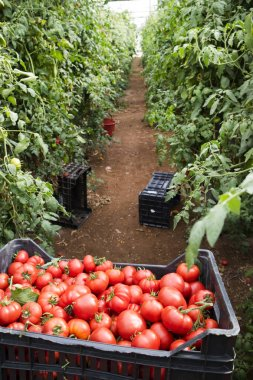 Moment of harvesting tomatoes in the Pachino Sicilia area