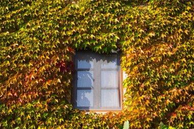 Climbing plant the American vine seen in the autumn season