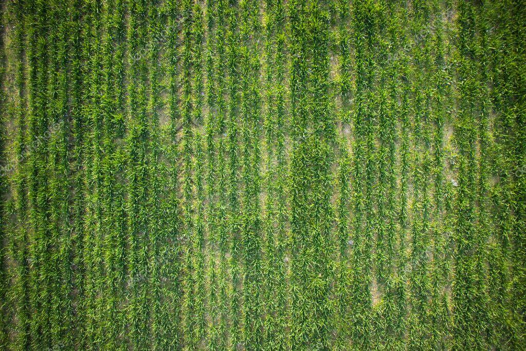 New-born green wheat