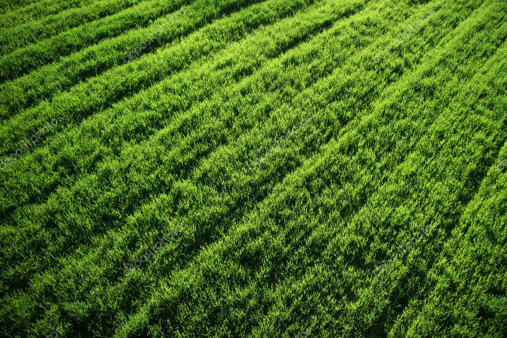 Newborn green wheat