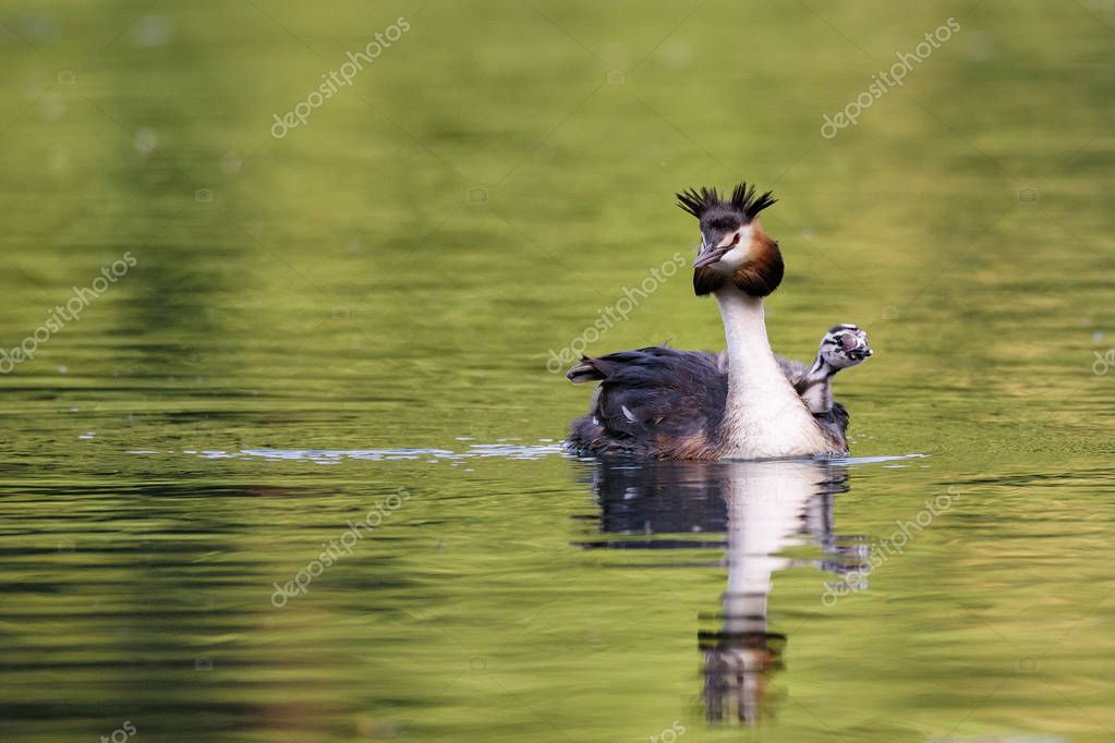 Beautiful specimen of female of great crested grebe carrying her little chick on the back and swimming in the river, horizontal image