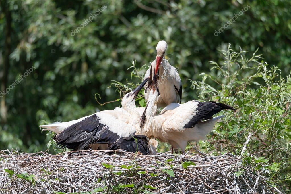A white stork watering its young in the nest, horizontal image
