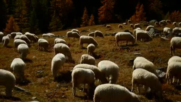 ceresole (torino), italien - 5. Oktober 2012: eine Schafherde im Spätherbst. Schafe weiden auf der Weide.