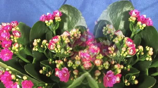 Kvetoucí holandské hybridní rostliny. Izolované. Makro.