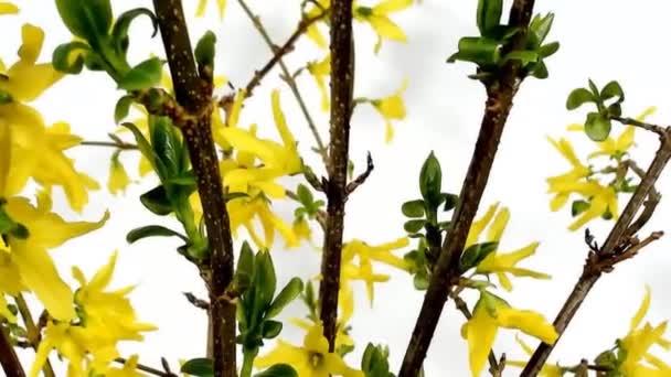 brzy na jaře detail rozkvetlé květy krásné žluté Zlatice