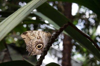 Close caligo memnon tropical butterfly on the leaf in the garden.