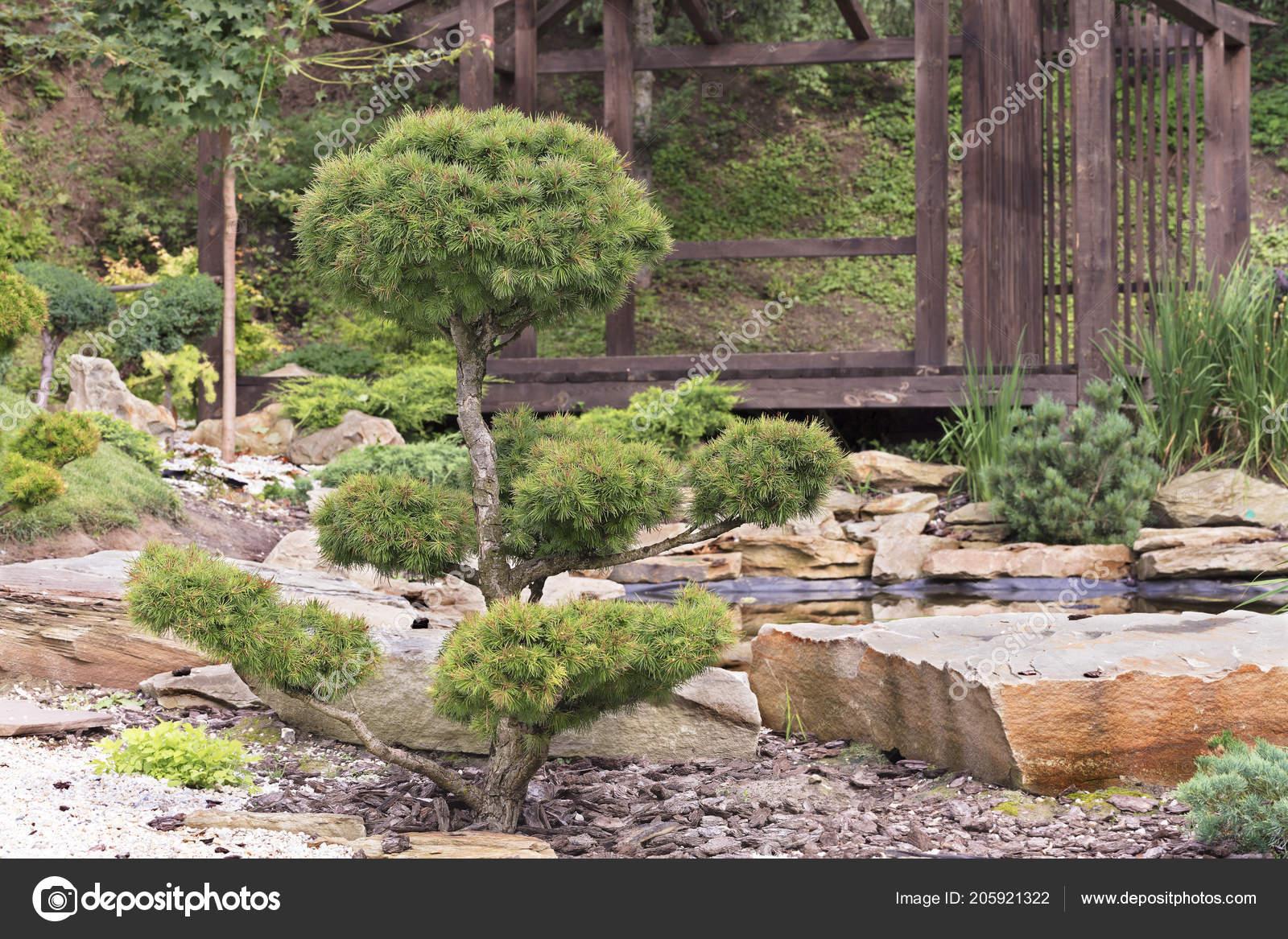 Beautiful Garden Bonsai Trees Pine Trees Traditional Japanese Stone Garden  U2014 Stock Photo