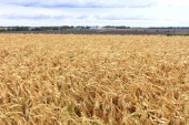 Jasně žluté pole zralých zrn na pozadí provozního zemědělského traktoru v dálce, rozostřené a oblačné obloze.