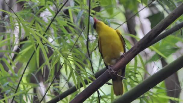 Schwarznapf-Pirol-Vogel (oriolus chinensis) auf Ast im tropischen Regenwald.