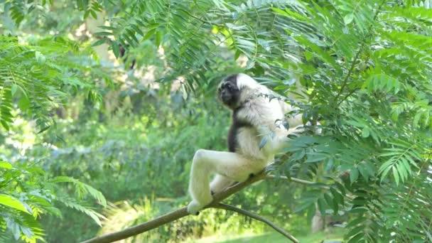 Pileated Gibbon (Hylobates pileatus) na strom v aktuální deštný prales.