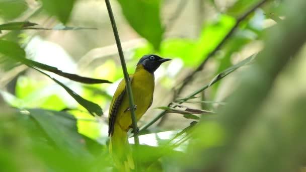 Rußköpfiger Bulbul-Vogel (pycnonotus aurigaster) auf Ast im tropischen Regenwald.