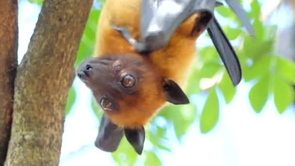 Lyles flying fox (Pteropus lylei) on a tree, animal backgrounds.