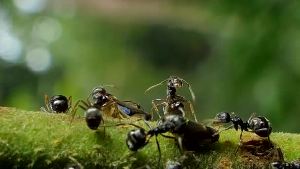 Black ant (Paratrechina longicornis) try to chase aphids (Brown Planthopper) out off area on branch in tropical rain forest.