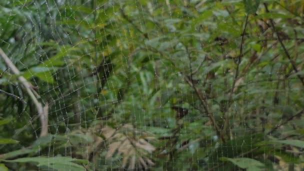 Nephila pilipes spider, je druh zlatá pavučina pavouka, na webu v tropickém deštném pralese