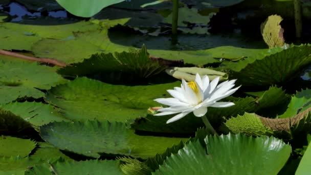 Bílý Lotosový květ v mírové rybníka