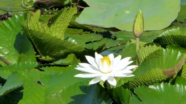 Bílý Lotosový květ v mírové rybníka.