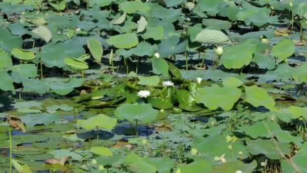 Dolly záběr bílý Lotosový květ v mírové rybníka