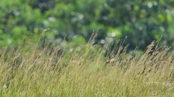 Květ trávy ve větru na louce savany.