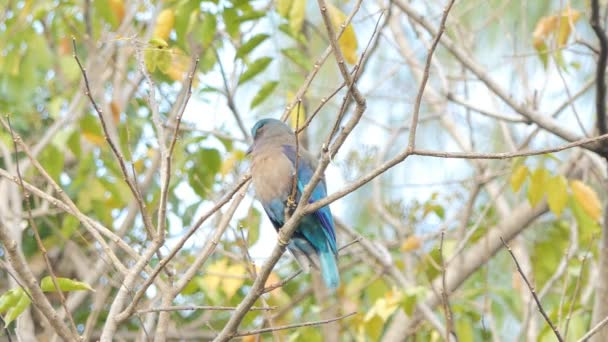 Indian roller bird (Coracias benghalensis) on branch in tropical rain forest.