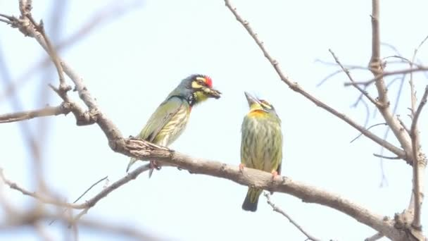 Hím madár táplálja a női madár a párzási időszak, Crimson mellű barbet madár (Megalaima haemacephala) a trópusi esőerdő fa.